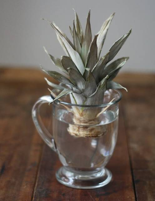 水に浸すだけ!パイナップルの茎を使って観葉植物をDIY!
