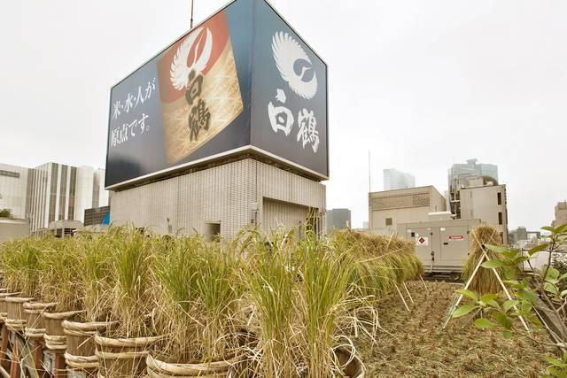 白鶴屋上庭園 ~銀座のビルの屋上でお米をDIY!~